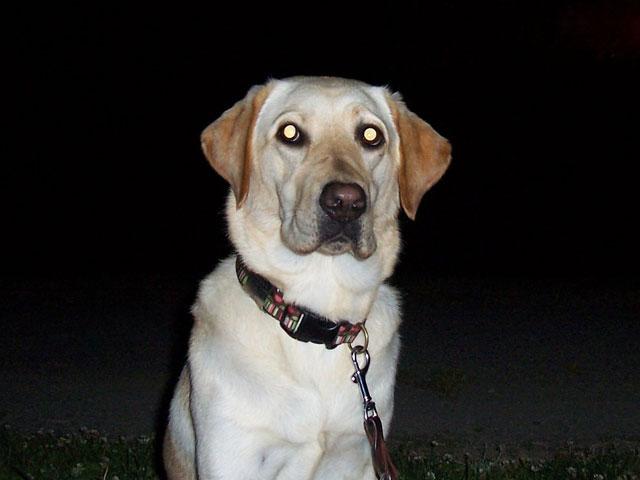 Dog tapetum lucidum glowing eyes with camera flash